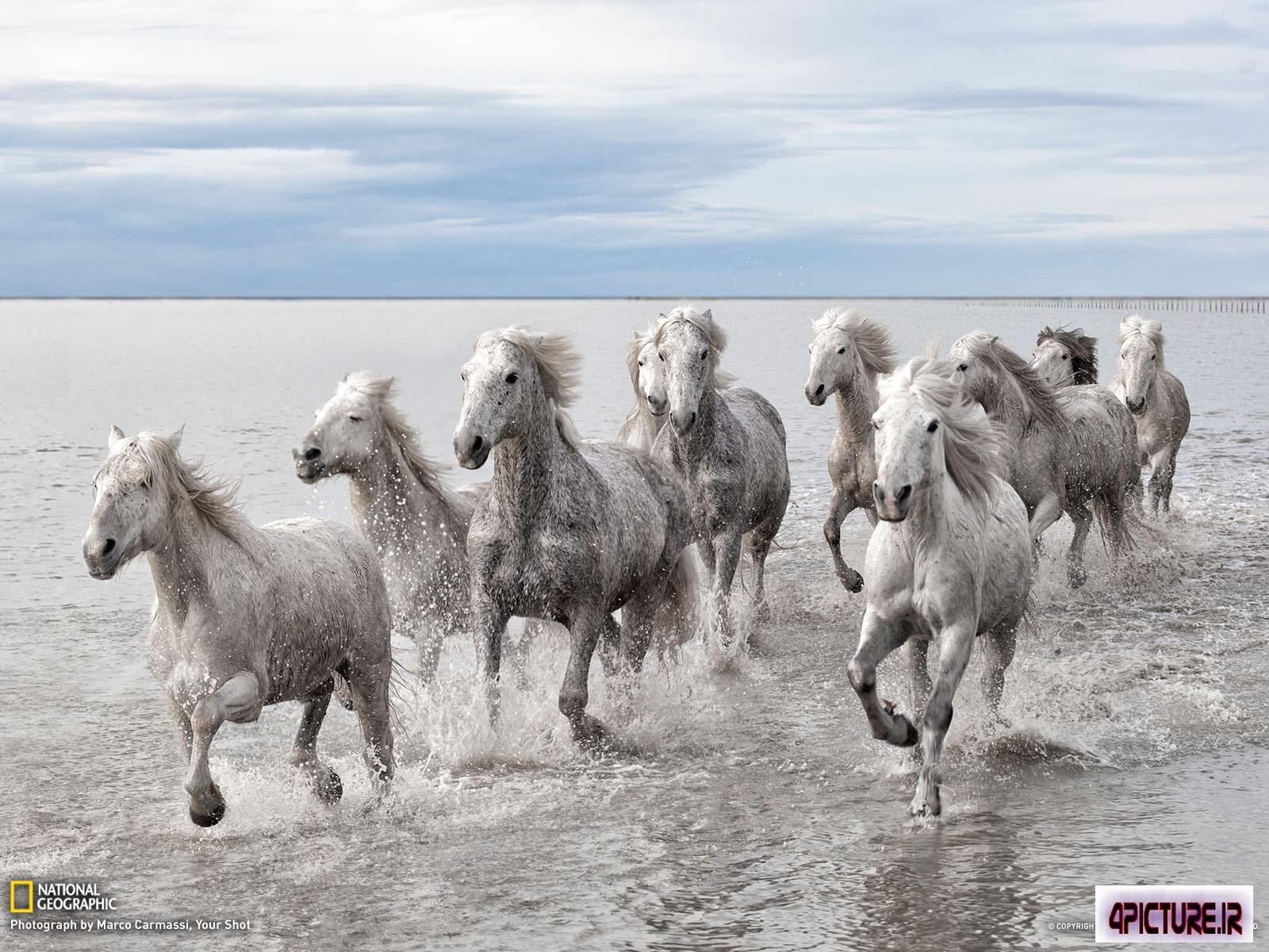 والپیپر اسب وحشی